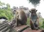Aapjes in Sri Lanka