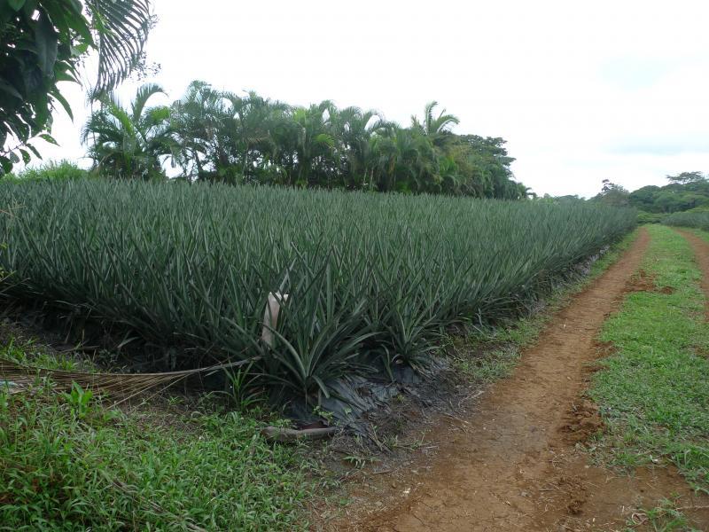 Ananas velden costa rica