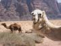 Kamelen