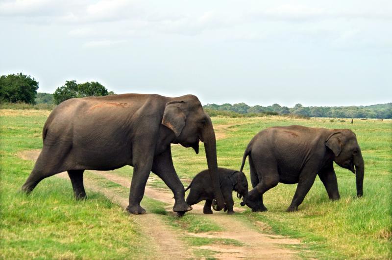 Olifanten Sri Lanka groepsreis