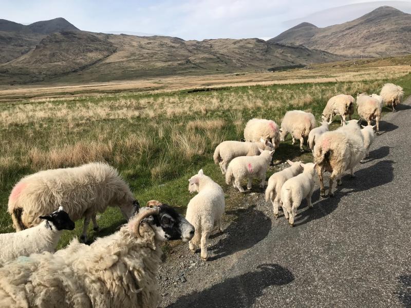 Schapen in Schotland