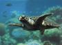 Schildpad Aqaba