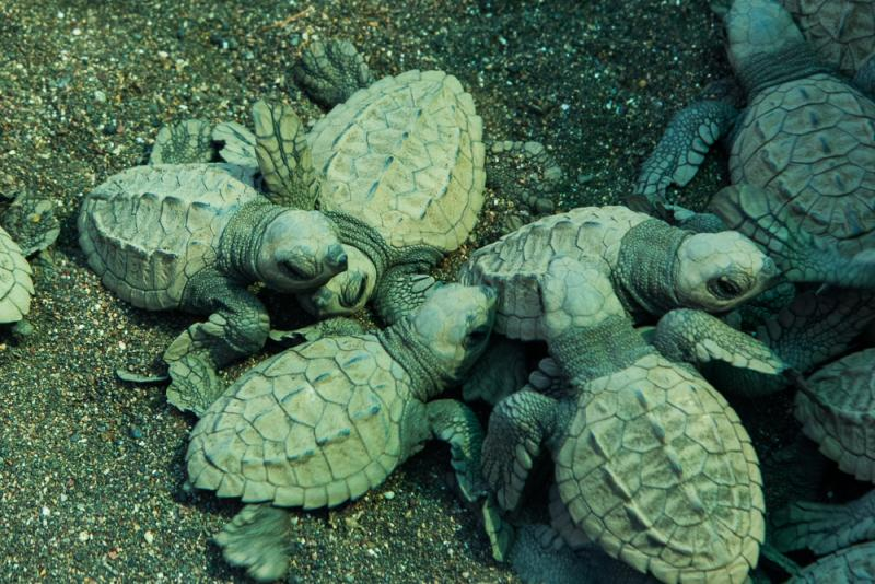 Schildpadden costarica
