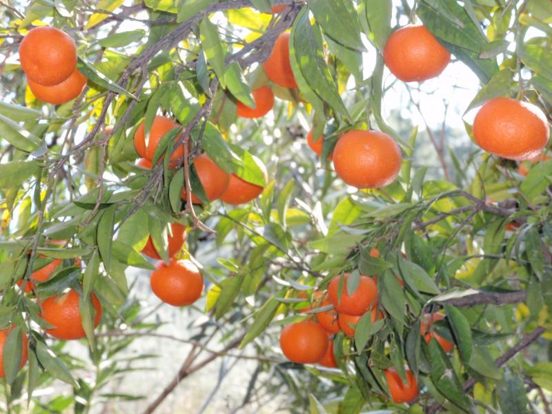Sinaasappeltjes