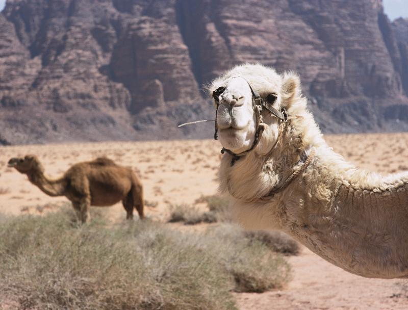Wadi Rum kameel
