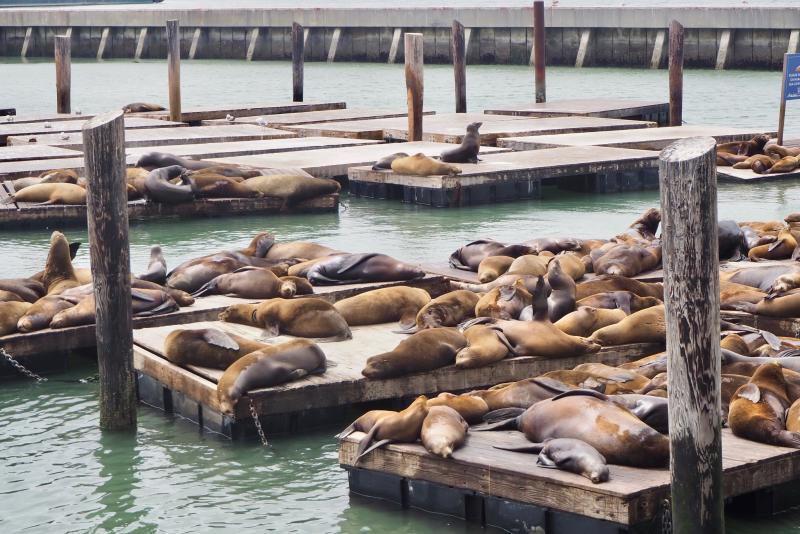 Zeeleeuwen bij Fisherman's Wharf in San Francisco
