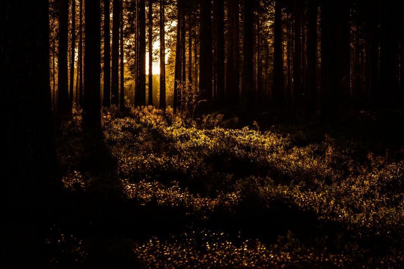 Zweden bossen